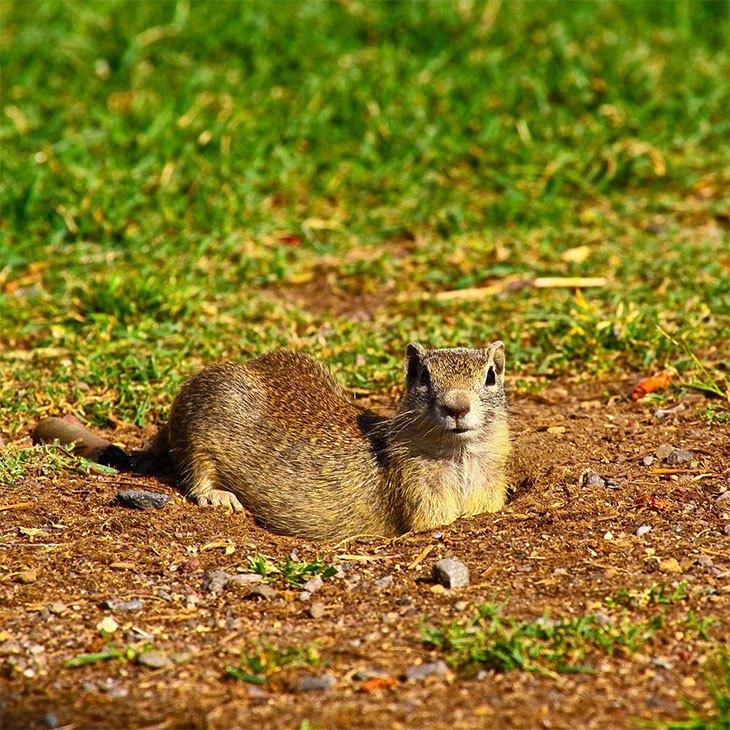 can squirrels dig holes